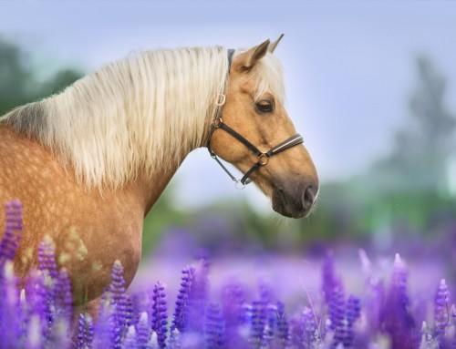 KINESIOTAPE beim Pferd